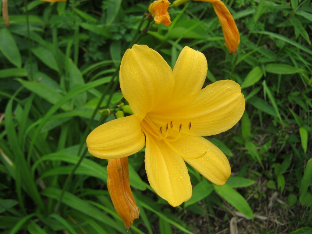 Close up of the mountain lily
